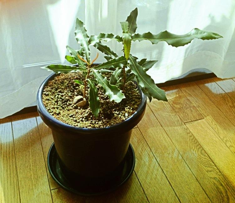 マカダミアナッツの成長